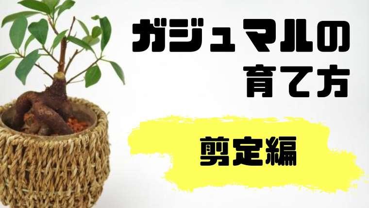 ガジュマルの育て方(剪定編)