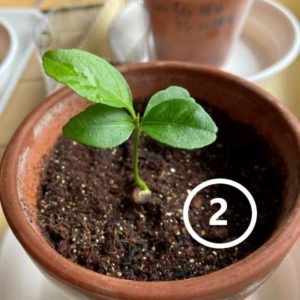 発芽1ヶ月後のレモンその2