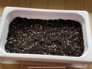 土に植えられたオリーブ