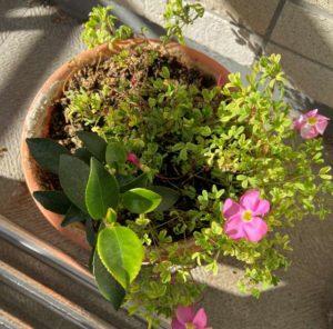 カタバミが咲くサカキの鉢