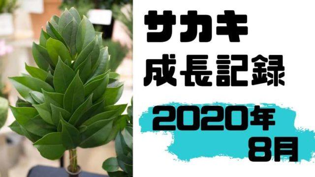 サカキの成長記録(8月)