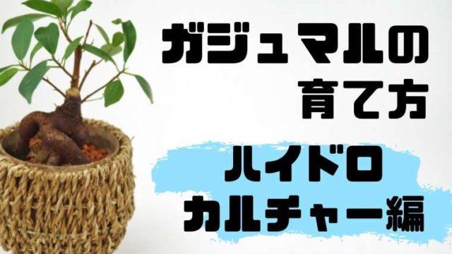ガジュマルの育て方ハイドロカルチャー編