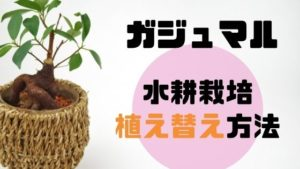 ガジュマルの水耕栽培の植え替え方法