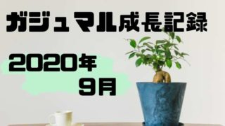 ガジュマル成長記録2020年9月