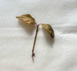 枯れて茎が折れたレモン