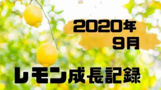 2020年9月のレモン成長記録