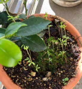 サカキの鉢植えから伸びてきた葉っぱ