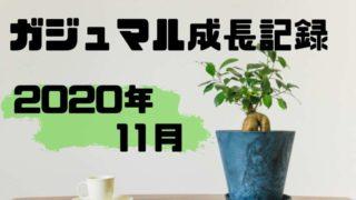 2020年11月のガジュマル成長記録