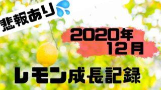 2020年12月のレモン成長記録